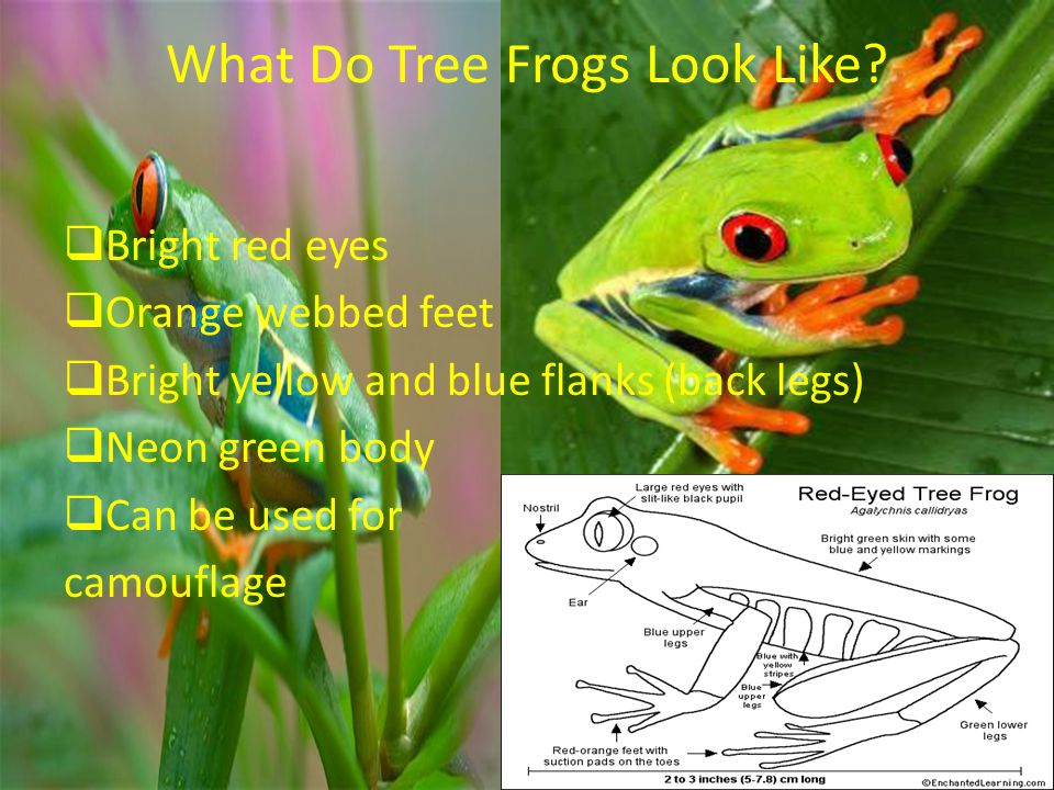 What Do Tree Frogs Look Like