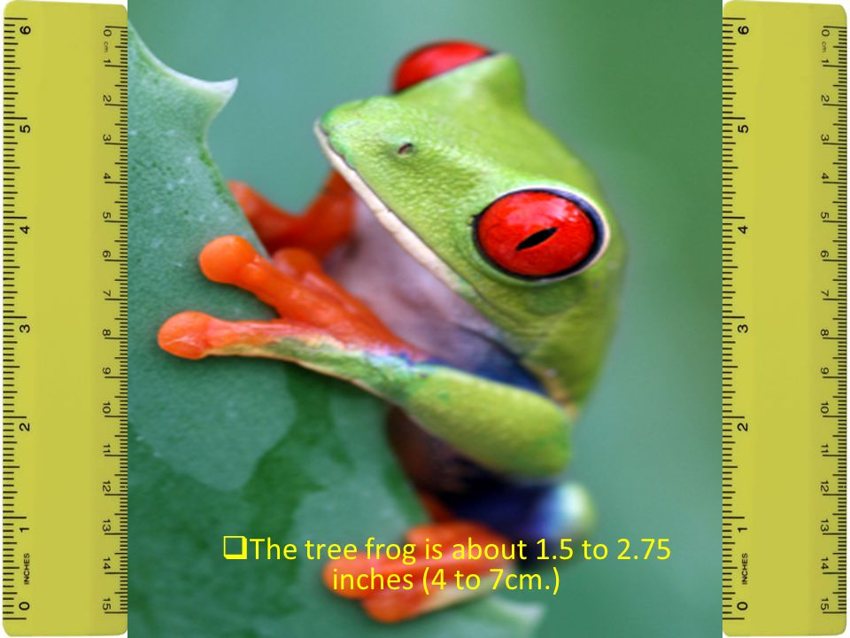 What Is A Tree Frog's Typical Size