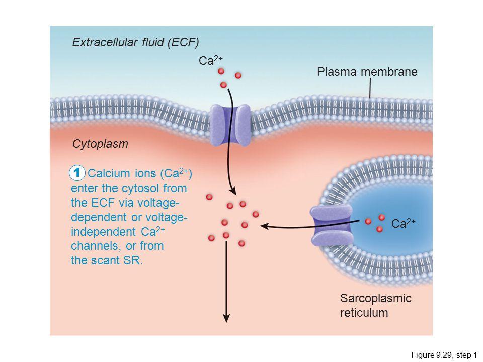 1 Extracellular fluid (ECF) Ca2+ Plasma membrane Cytoplasm