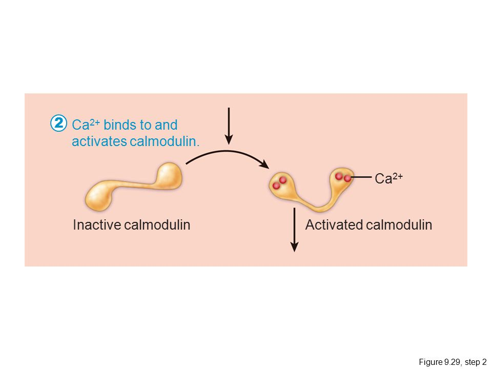2 Ca2+ binds to and activates calmodulin. Ca2+ Inactive calmodulin
