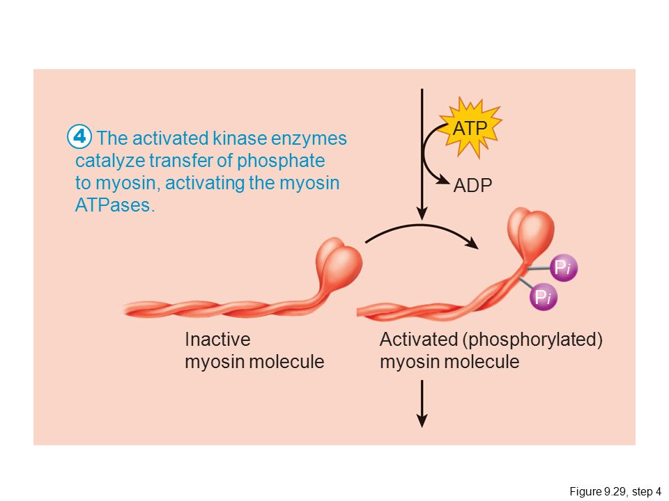 4 ATP The activated kinase enzymes catalyze transfer of phosphate