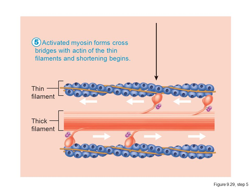 5 Activated myosin forms cross bridges with actin of the thin