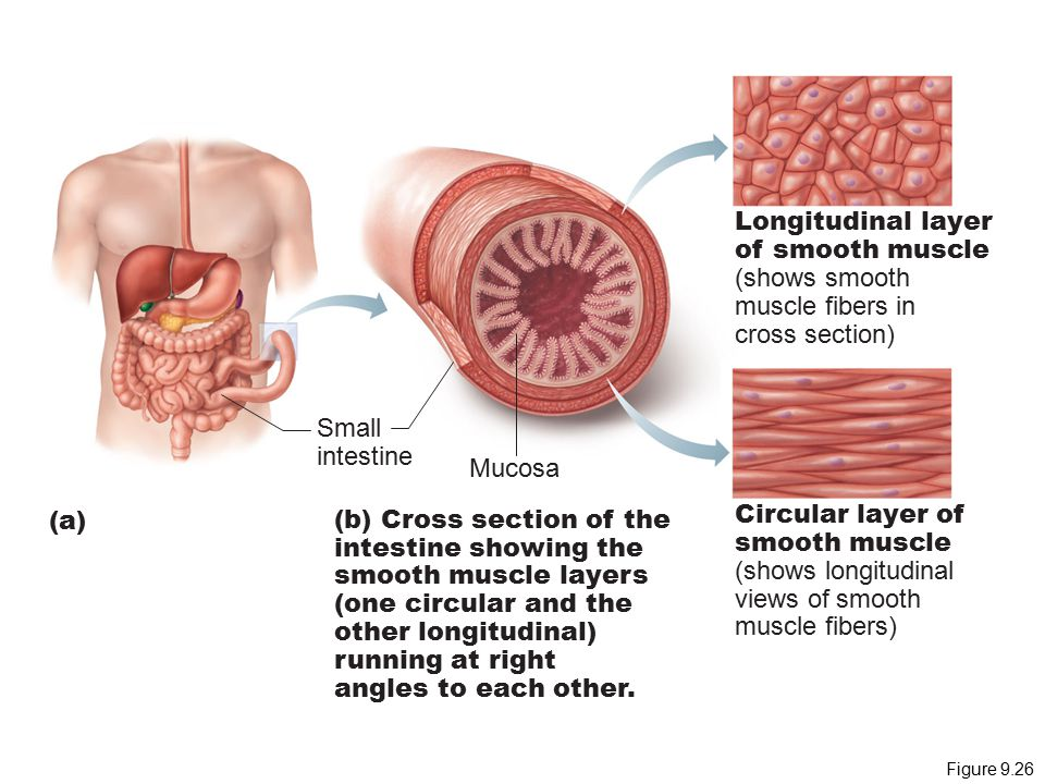 Longitudinal layer of smooth muscle (shows smooth muscle fibers in
