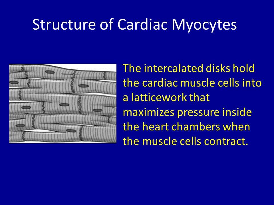Structure of Cardiac Myocytes