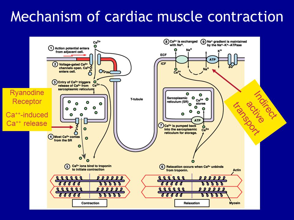 Mechanism of cardiac muscle contraction