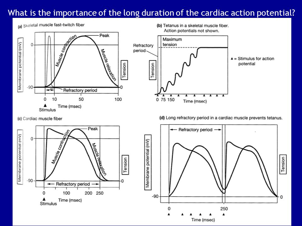 What is the importance of the long duration of the cardiac action potential