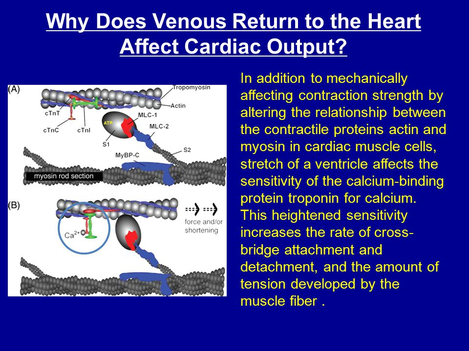 Why Does Venous Return to the Heart Affect Cardiac Output