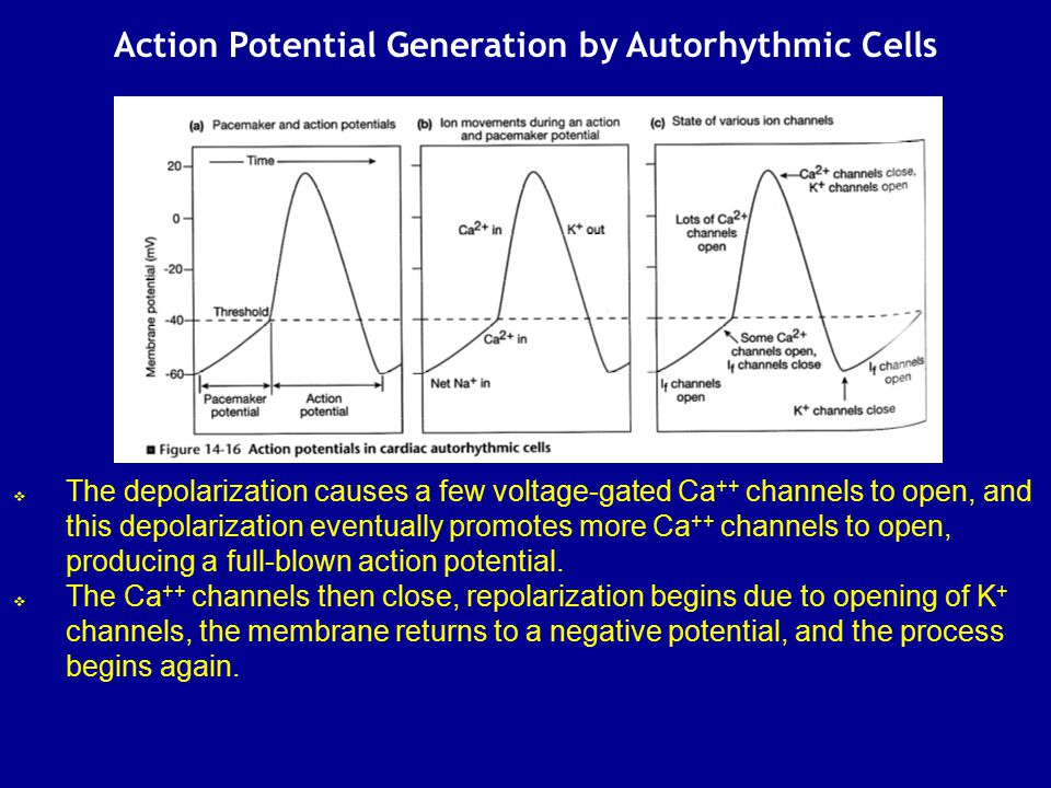 Action Potential Generation by Autorhythmic Cells