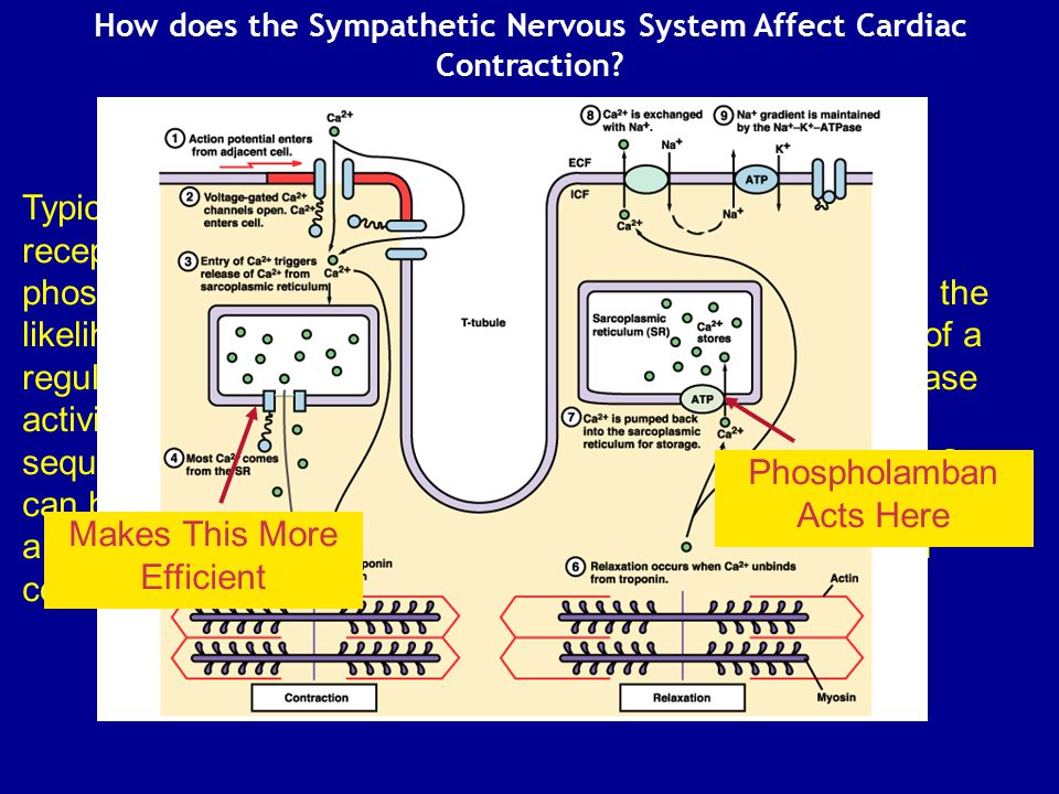 How does the Sympathetic Nervous System Affect Cardiac Contraction