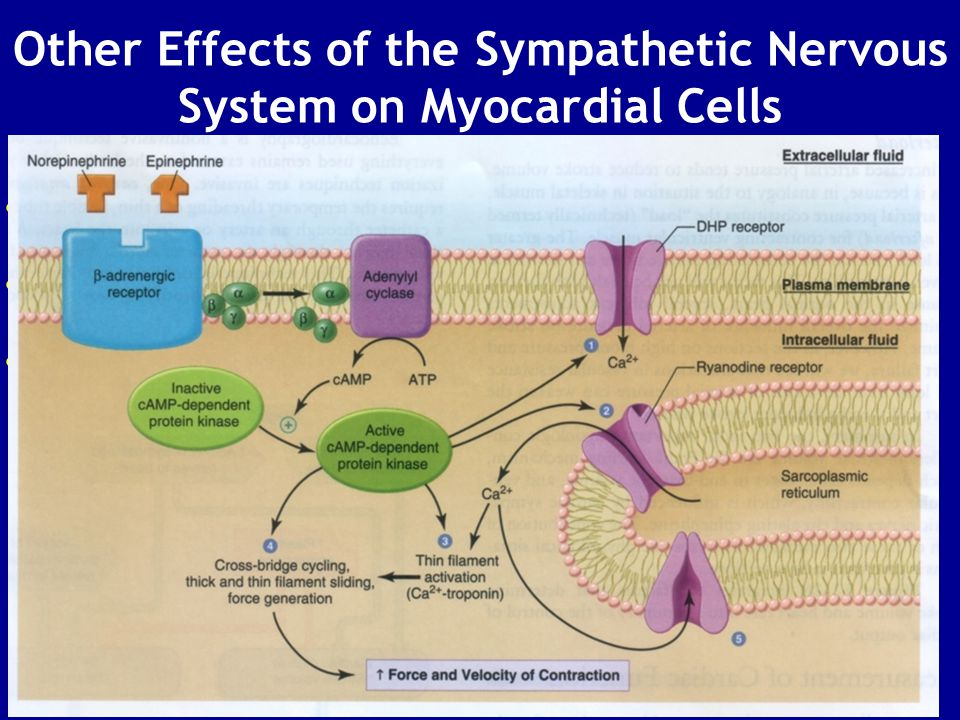 Other Effects of the Sympathetic Nervous System on Myocardial Cells