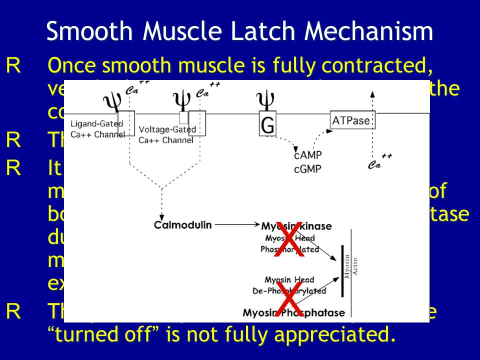 Smooth Muscle Latch Mechanism