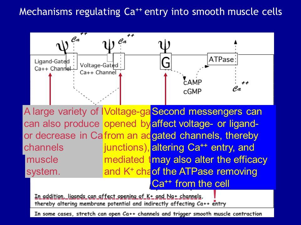 Mechanisms regulating Ca++ entry into smooth muscle cells