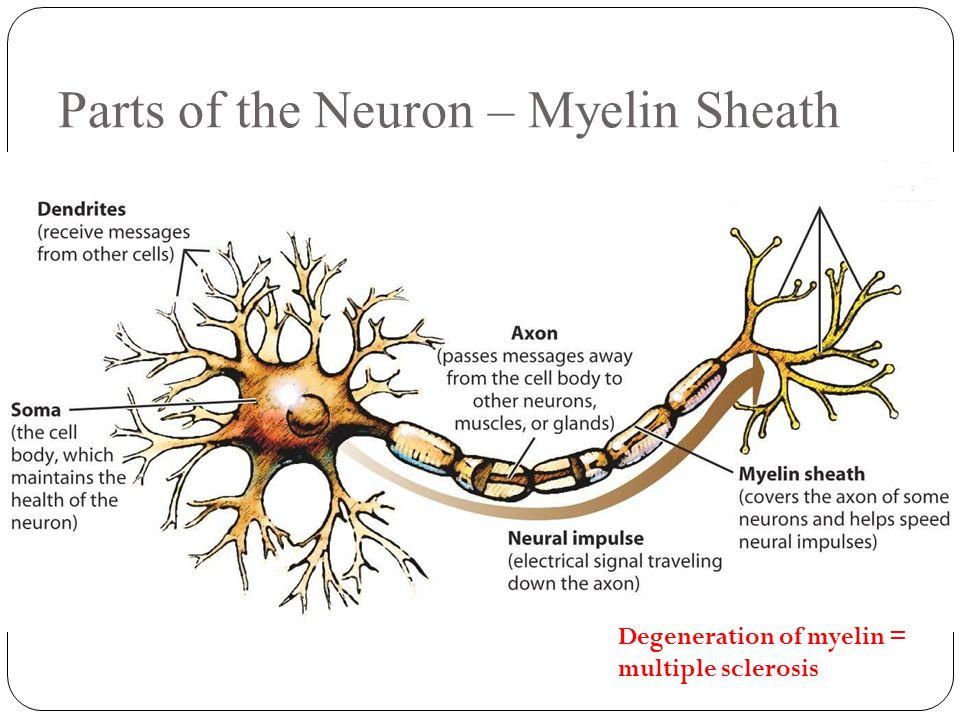 Parts of the Neuron – Myelin Sheath