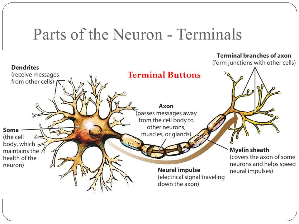 nervous system and terminal buttons Key takeaways the central nervous system (cns) is the collection of neurons that make up the brain and the spinal cord the peripheral nervous system (pns) is the collection of neurons that link the cns to our skin, muscles, and glands.