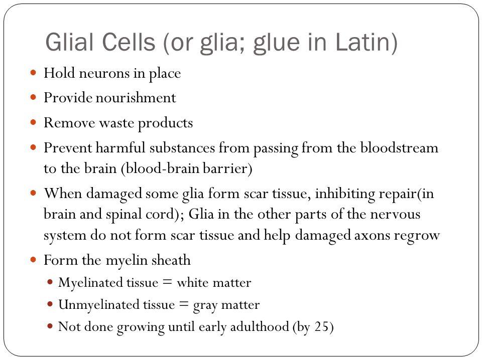 Glial Cells (or glia; glue in Latin)