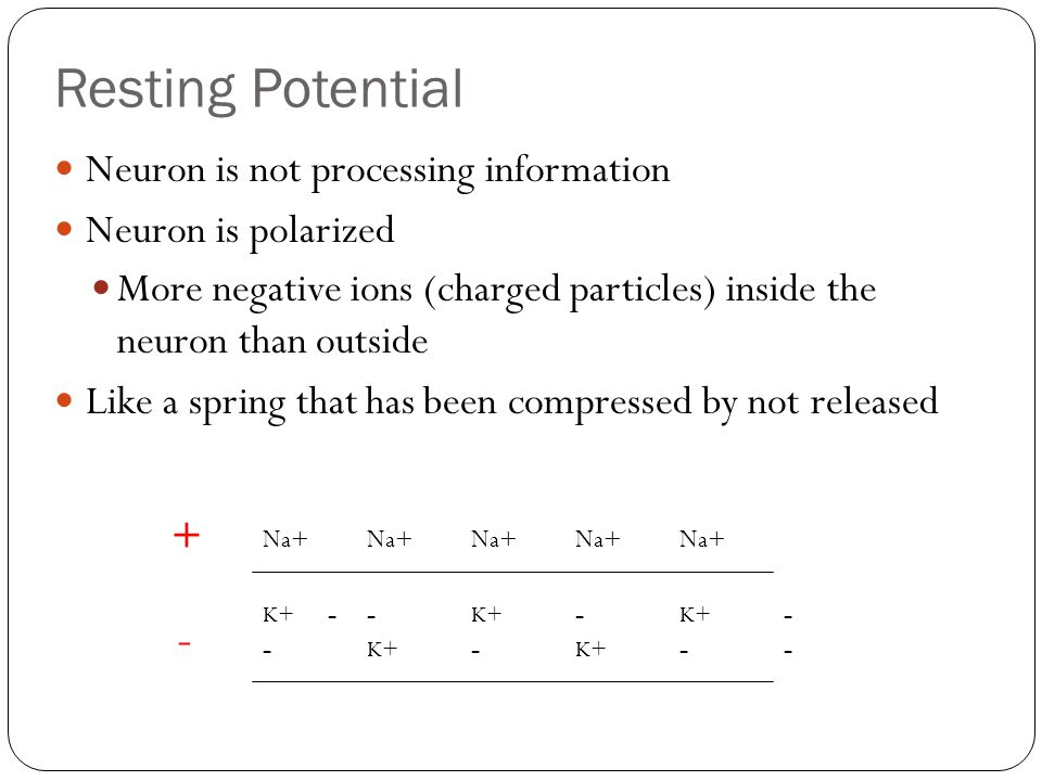Resting Potential - + Neuron is not processing information