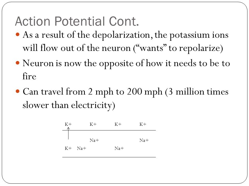 Action Potential Cont. As a result of the depolarization, the potassium ions will flow out of the neuron ( wants to repolarize)