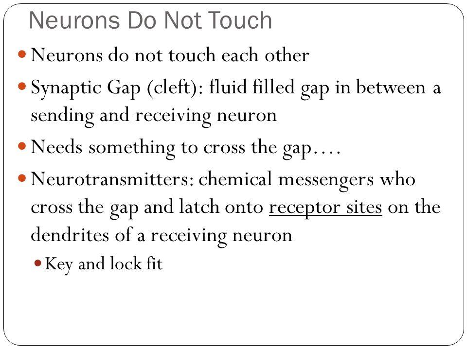 Neurons Do Not Touch Neurons do not touch each other