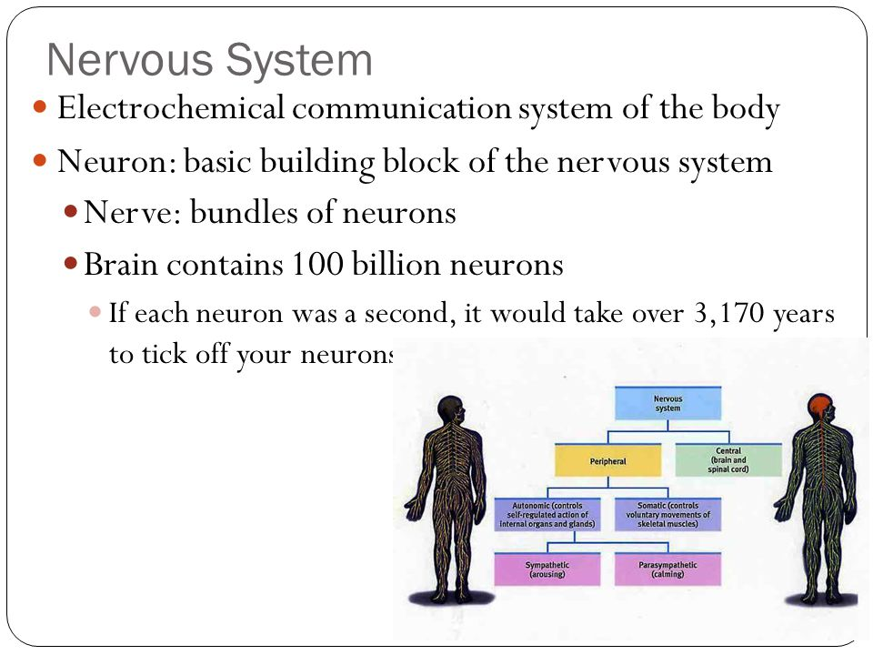 Nervous System Electrochemical communication system of the body