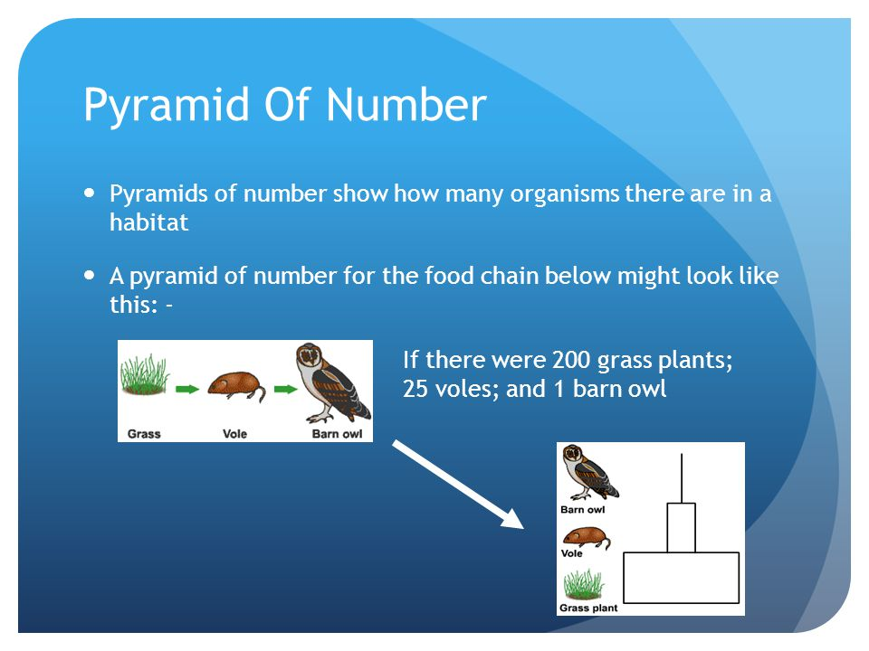 Pyramid Of Number Pyramids of number show how many organisms there are in a habitat.