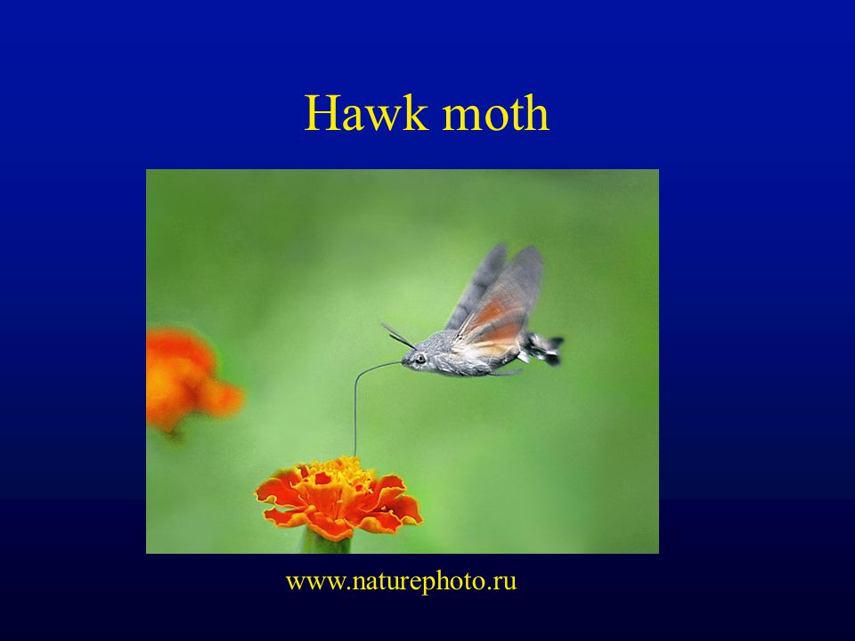 Hawk moth www.naturephoto.ru