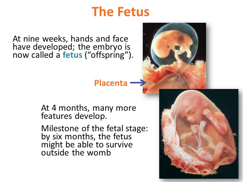 The Fetus At nine weeks, hands and face have developed; the embryo is now called a fetus ( offspring ).