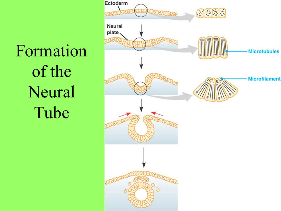 Formation of the Neural Tube