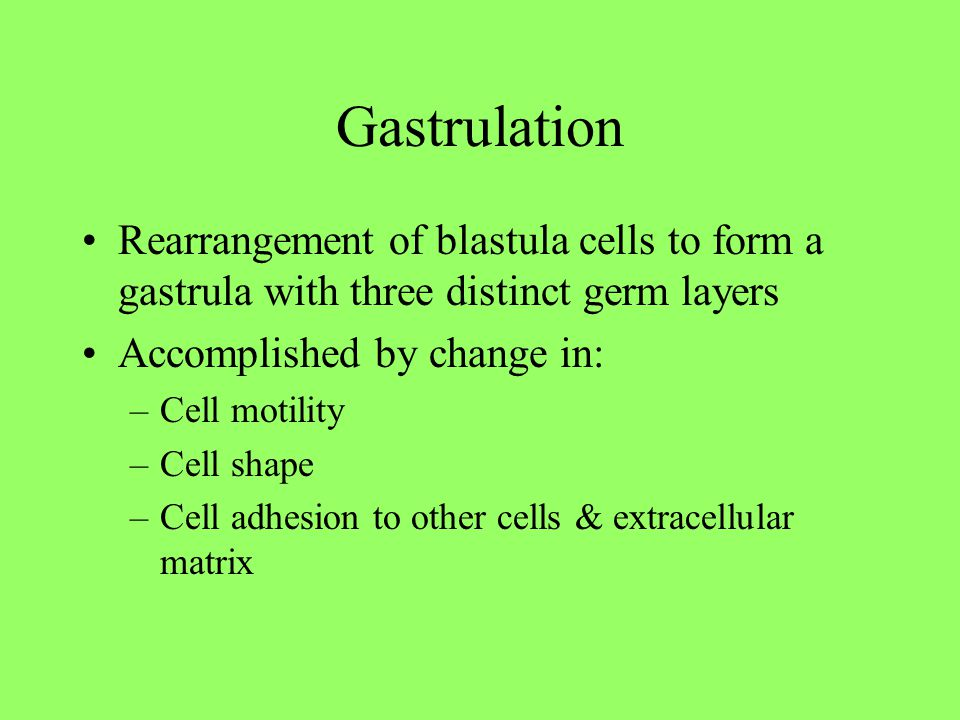 Gastrulation Rearrangement of blastula cells to form a gastrula with three distinct germ layers. Accomplished by change in: