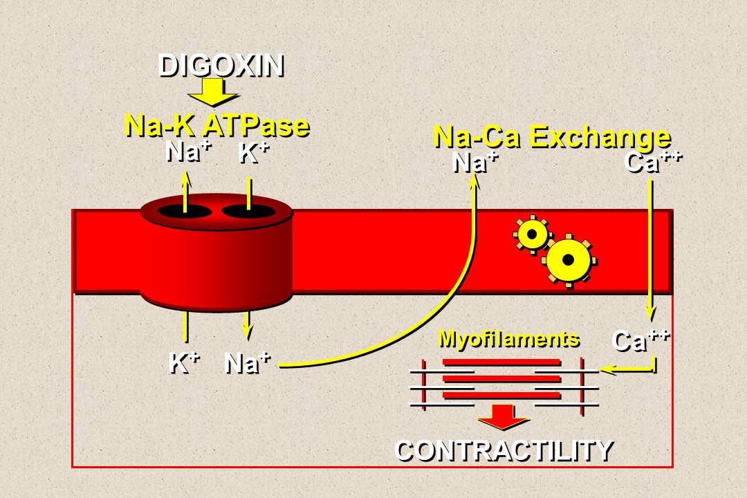 DIGOXIN Na-K ATPase Na-Ca Exchange