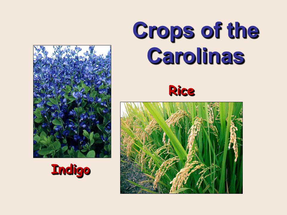 Crops of the Carolinas Rice Indigo