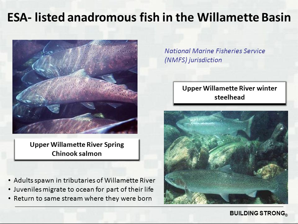 ESA- listed anadromous fish in the Willamette Basin