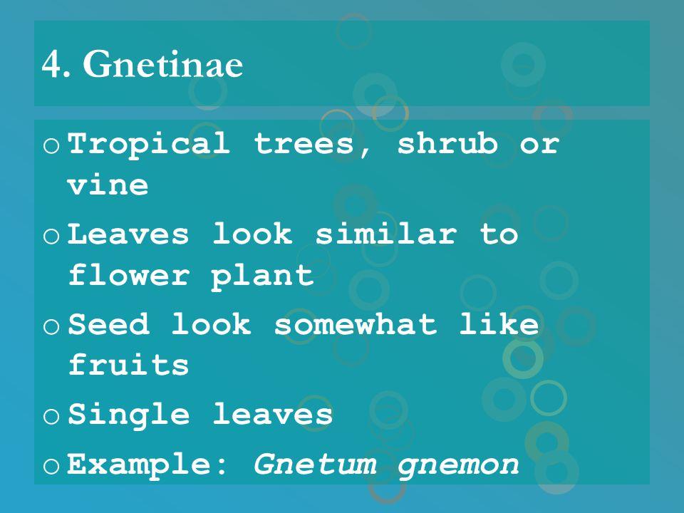 4. Gnetinae Tropical trees, shrub or vine