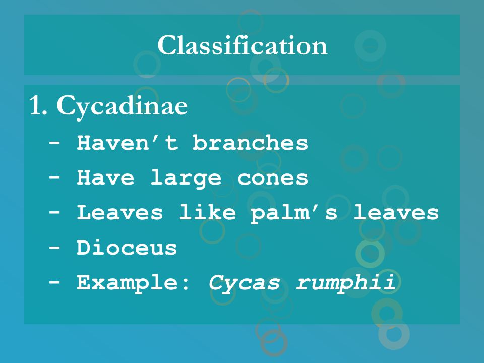 Classification 1. Cycadinae - Have large cones