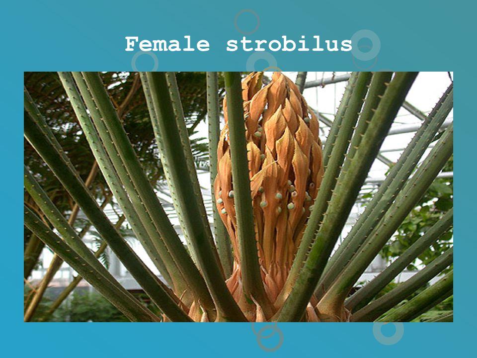 Female strobilus
