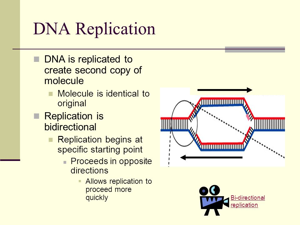 DNA Replication DNA is replicated to create second copy of molecule