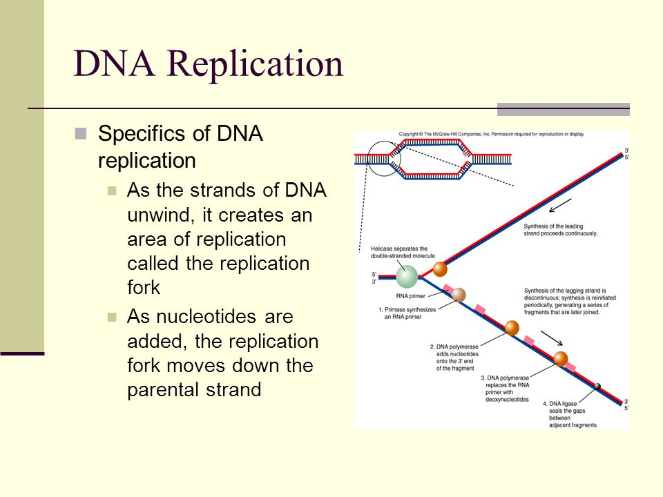 DNA Replication Specifics of DNA replication