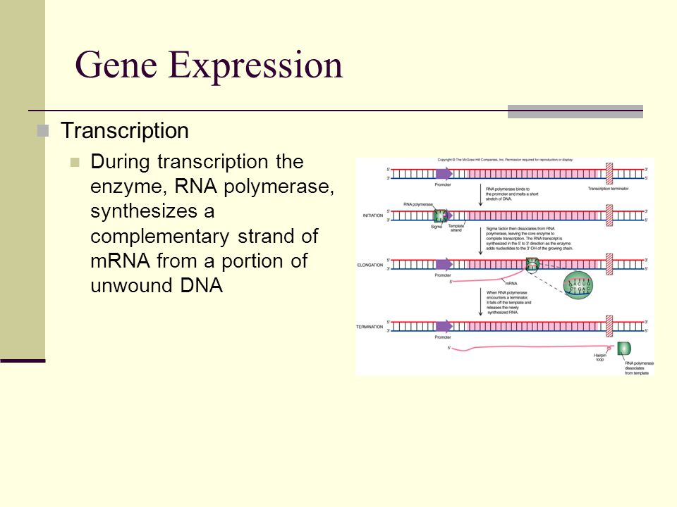 Gene Expression Transcription