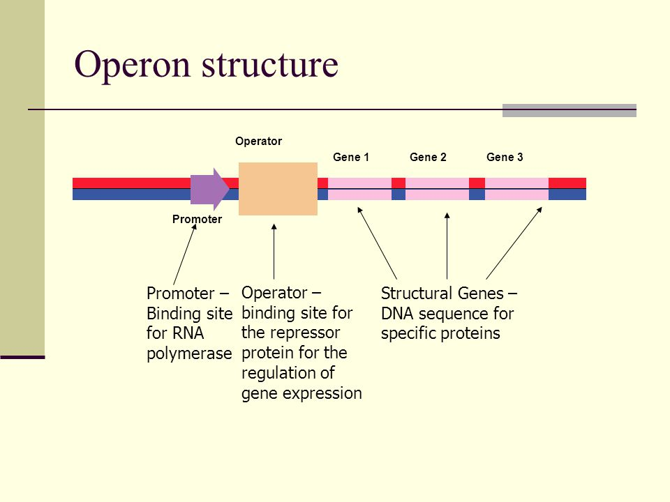 Operon structure Promoter – Binding site for RNA polymerase