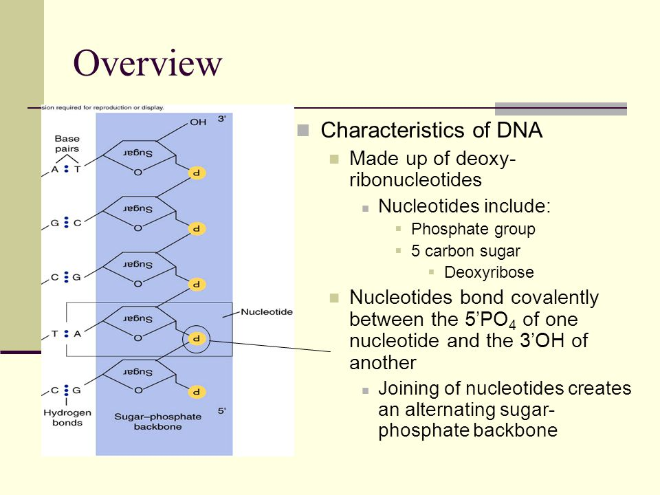 Overview Characteristics of DNA Made up of deoxy-ribonucleotides
