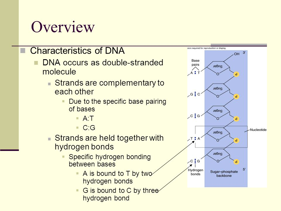 Overview Characteristics of DNA DNA occurs as double-stranded molecule