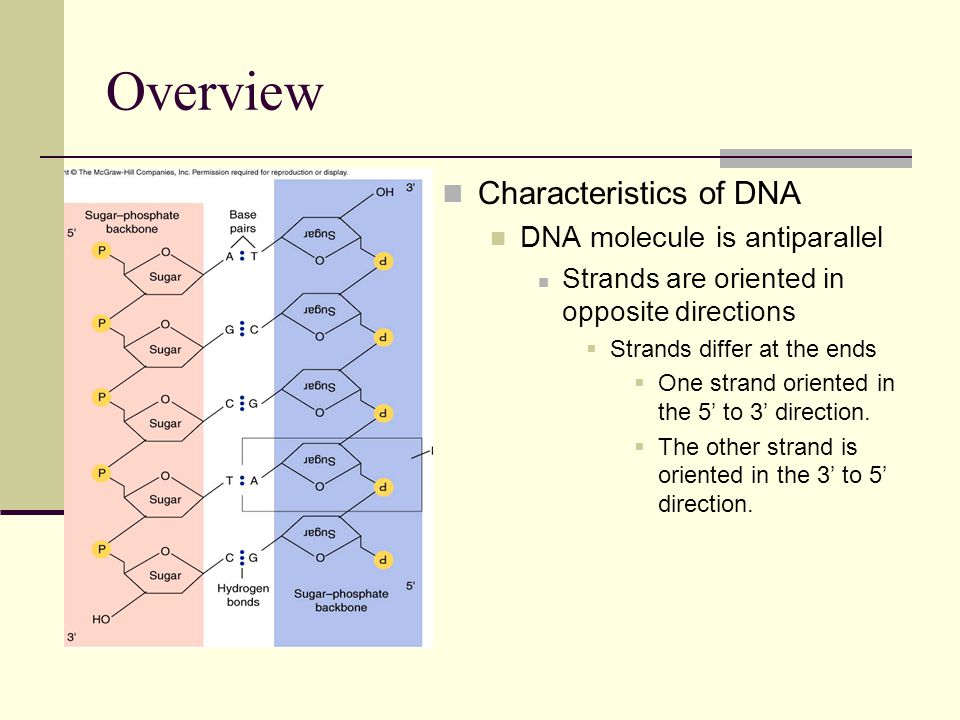 Overview Characteristics of DNA DNA molecule is antiparallel
