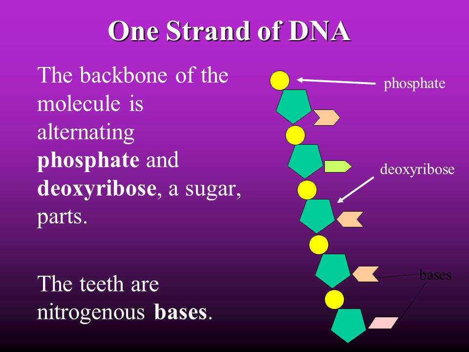One Strand of DNA The backbone of the molecule is alternating phosphate and deoxyribose, a sugar, parts.