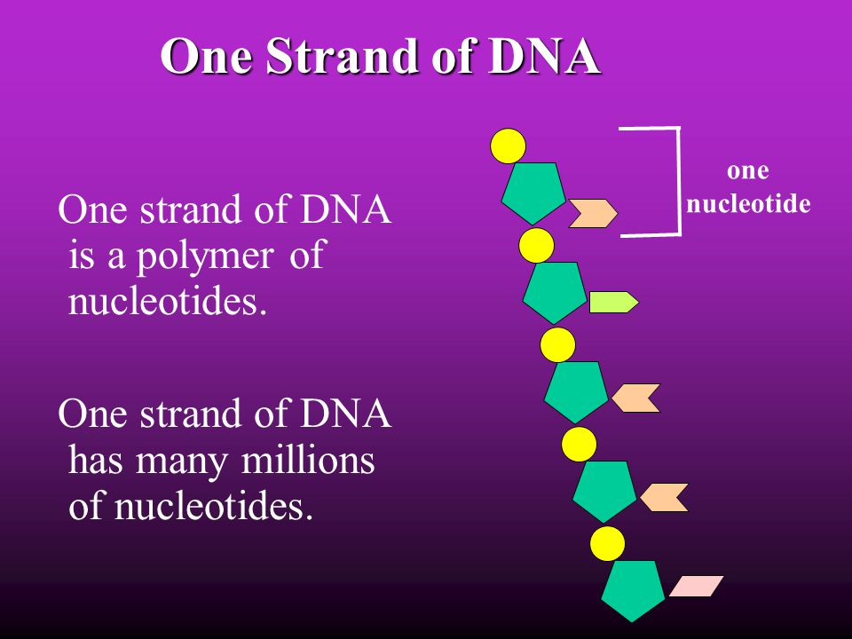 One Strand of DNA One strand of DNA is a polymer of nucleotides.