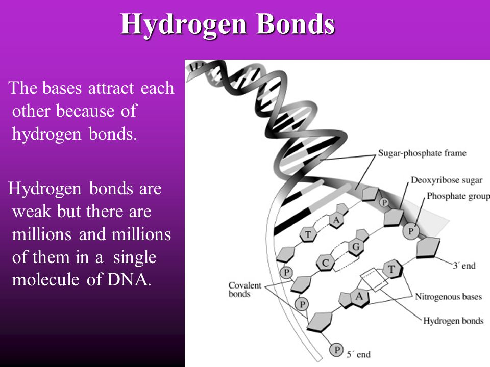 Hydrogen Bonds The bases attract each other because of hydrogen bonds.