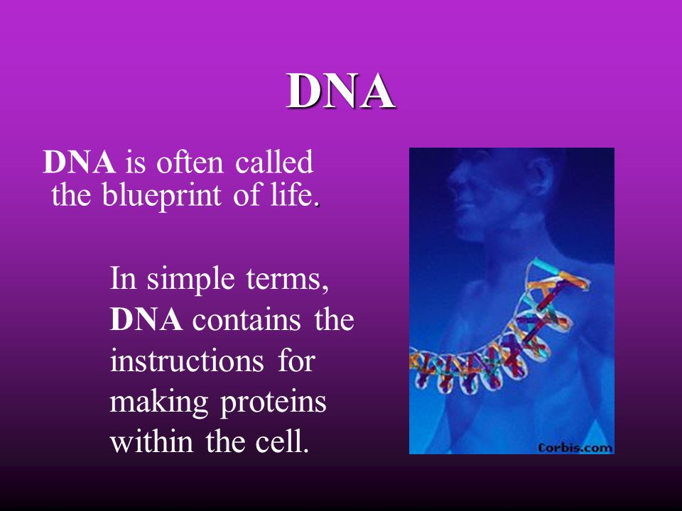 DNA DNA is often called the blueprint of life. In simple terms, DNA contains the instructions for making proteins within the cell.
