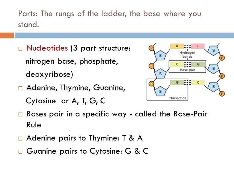Parts: The rungs of the ladder, the base where you stand.