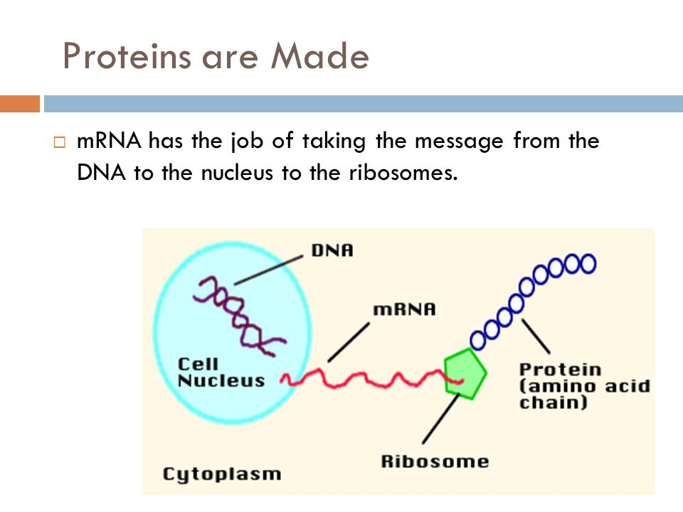 Proteins are Made mRNA has the job of taking the message from the DNA to the nucleus to the ribosomes.