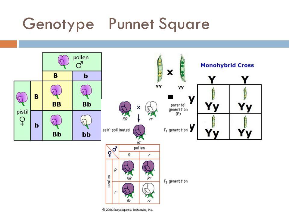 Genotype Punnet Square