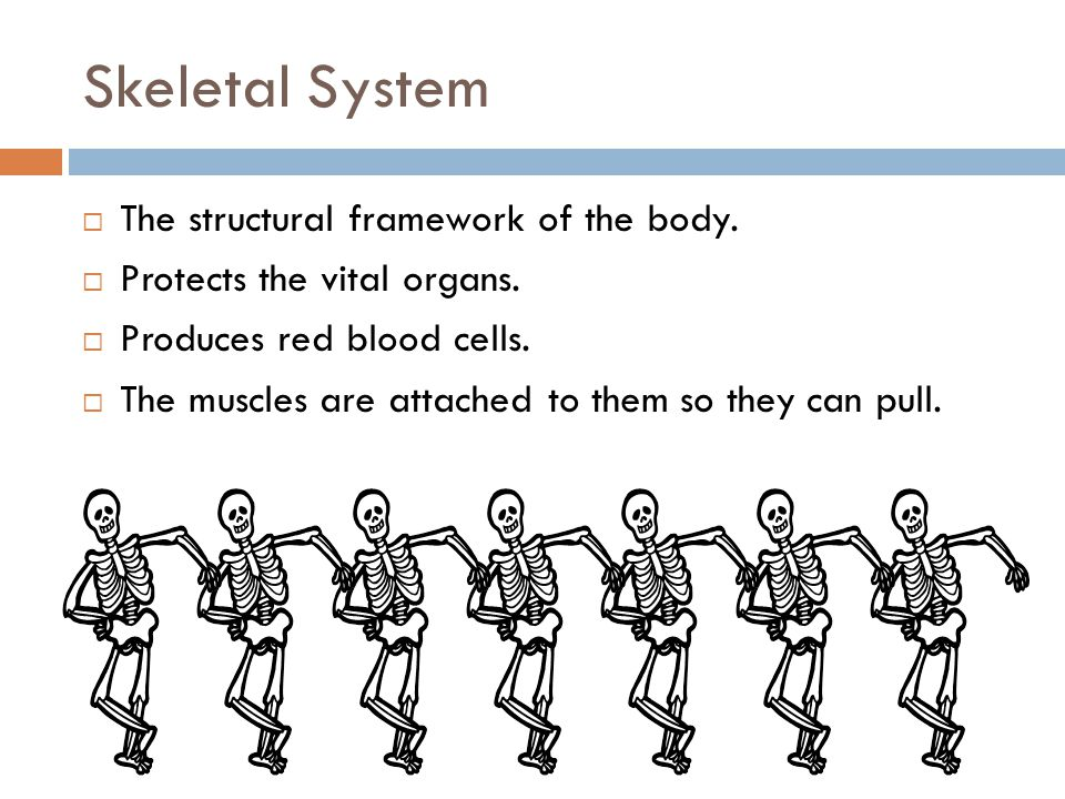 Skeletal System The structural framework of the body.