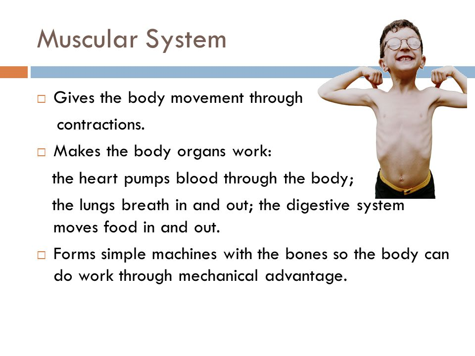 Muscular System Gives the body movement through contractions.